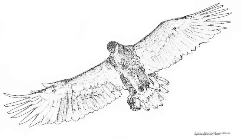 Adler Im Flug Gratis Ausmalbild
